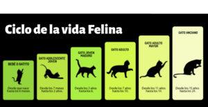 etapas-vida-gatos