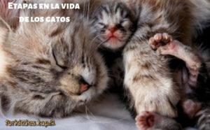 edades-de-los-gatos