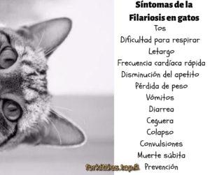 sintomas-filaria-felina