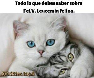 leucemia-felina-felv